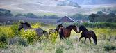 Fotografia cavalli mustang selvaggi americani