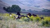amerikanische wilde Mustang Pferde