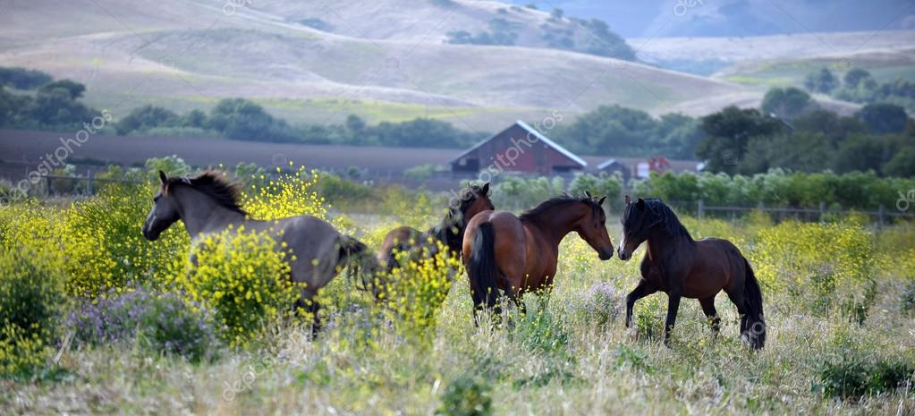American wild mustang horses