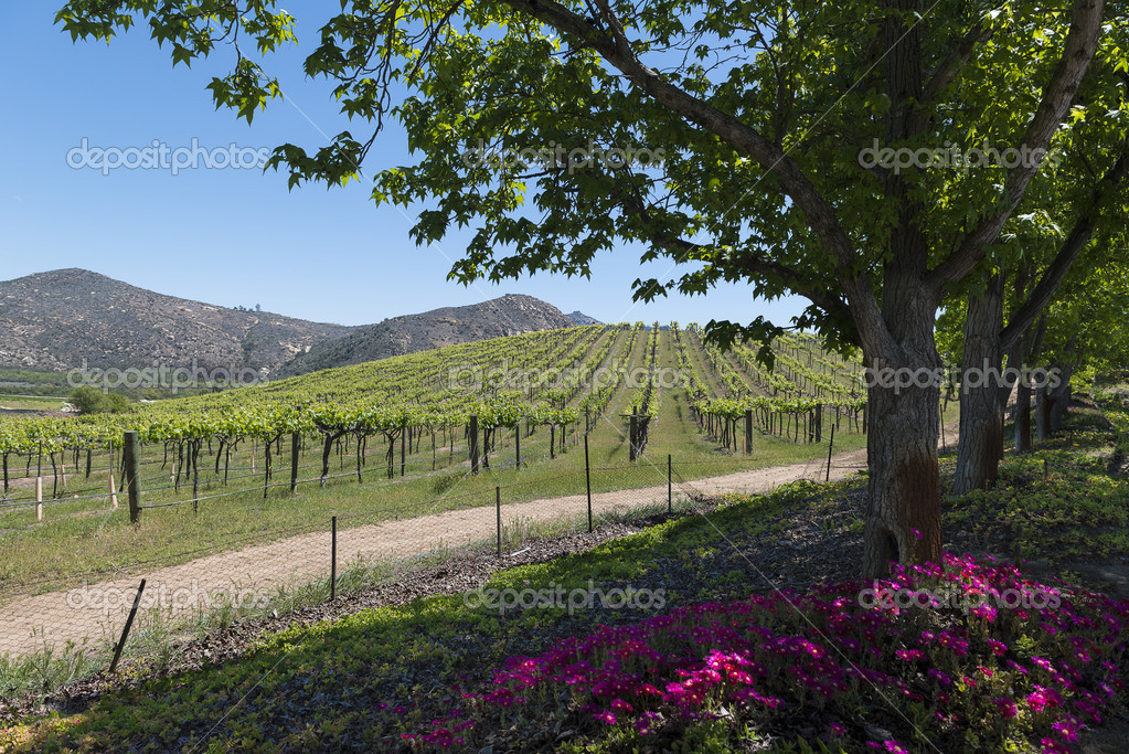 Vineyards of County San Diego