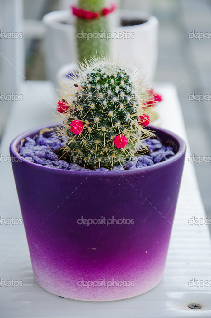Cactus con peque as flores de color rosa foto de stock - Cactus en macetas pequenas ...