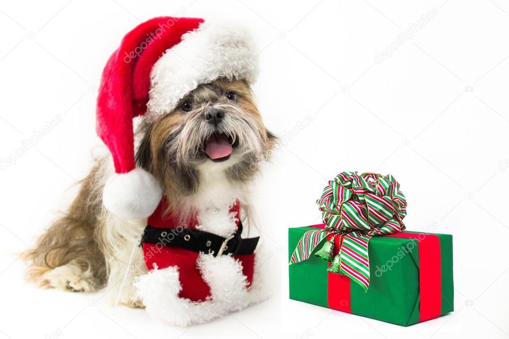 Cãozinho Santa Com Um Presente Fotografias De Stock
