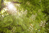 kvetoucí kaštan (aesculus hippocastanum) s paprsky slunce