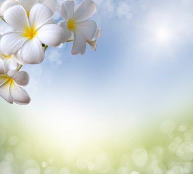spring background. frangipani