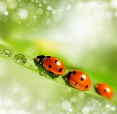 family of ladybugs