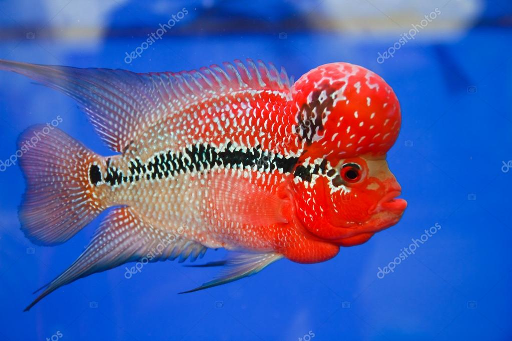 Flowerhorn cichlid fish in the aquarium stock photo for Flower horn fish price