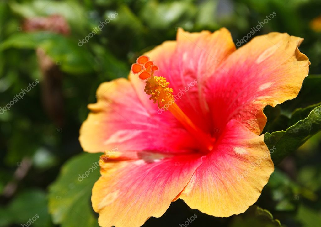 Hibiscus flower pollen.