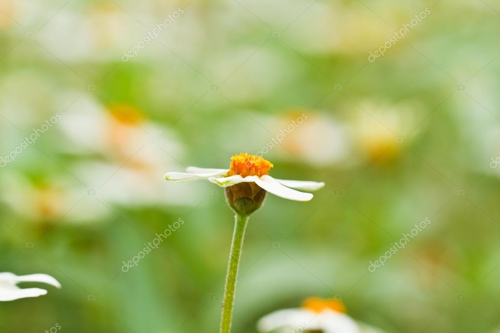 Blooming white star flowers — Stock Photo © photonewman #36261933