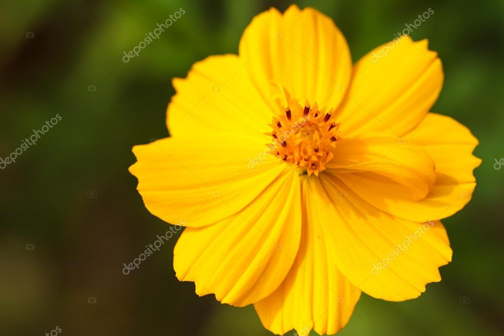 Yellow cosmos flower stock photo photonewman 36471823 yellow cosmos flower stock photo mightylinksfo