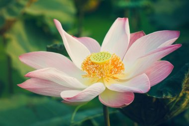 Lotus are blooming.