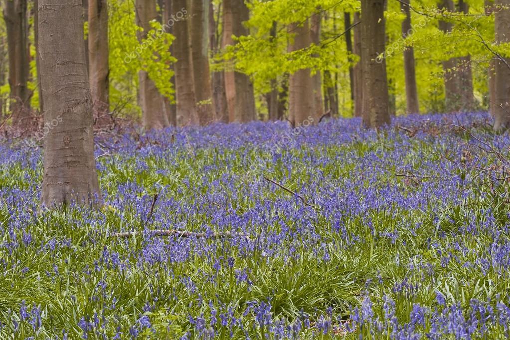Bluebells under beech trees
