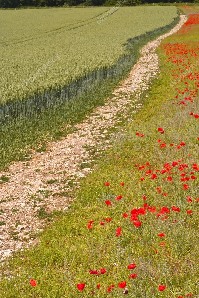 Field of poppies in Wiltshire