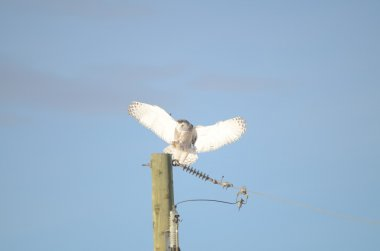 Snowy Owl with wide wings landing on power pole