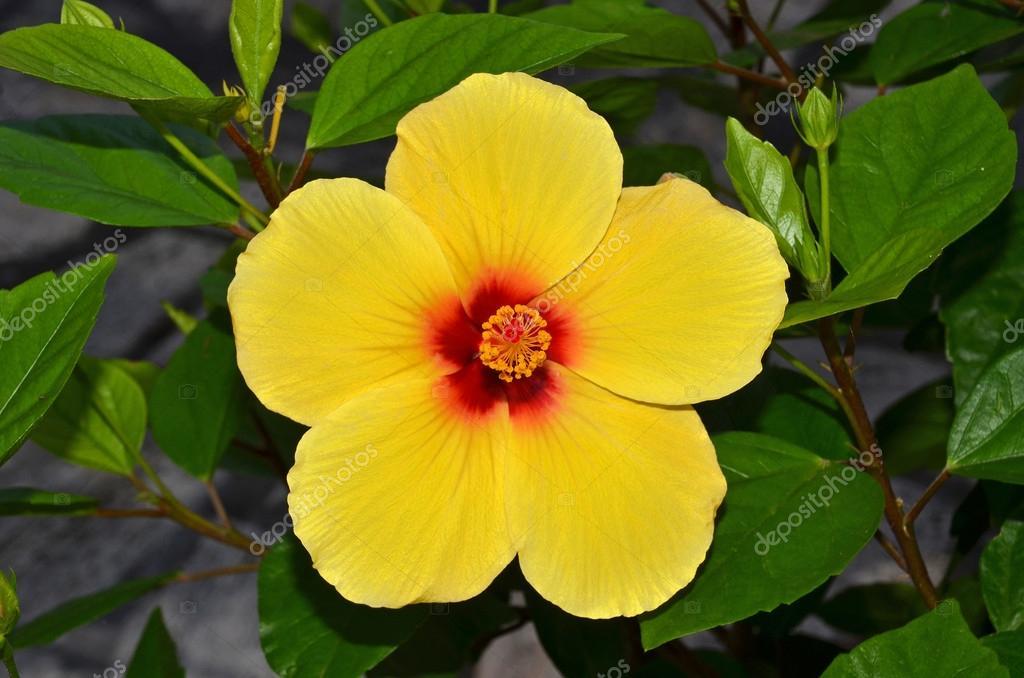 fleur d 39 hibiscus jaune photographie nico99 12196405. Black Bedroom Furniture Sets. Home Design Ideas