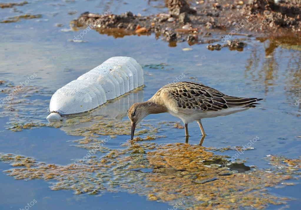 Sandpiper and plastic bottle