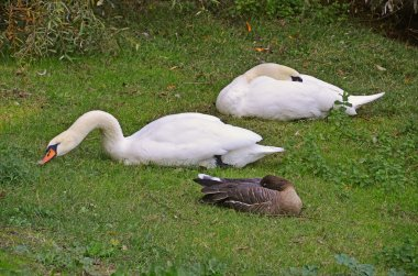 Swans and goose together