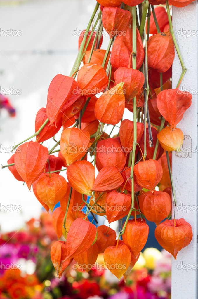 Chinese Lanterns Flower Arrangements Arrangement Of Chinese Lantern Flowers Stock Photo C Zigzagmtart 16845237