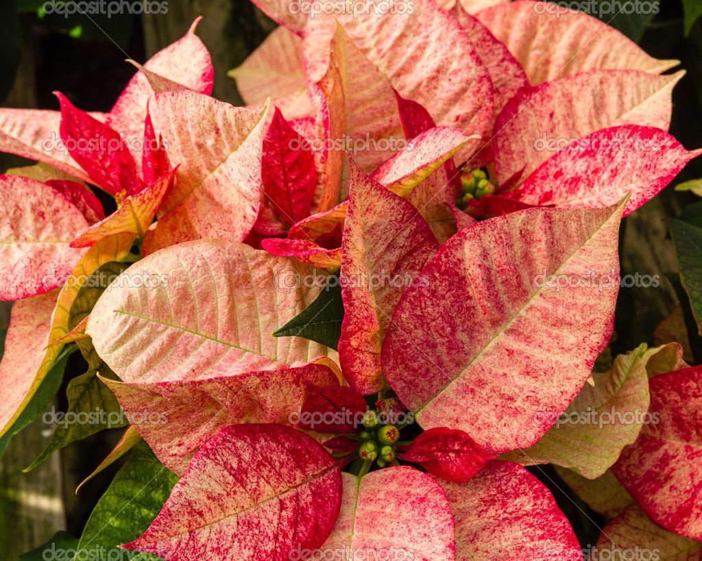 weihnachtsstern pflanzen in voller bl te als weihnachtsschmuck stockfoto zigzagmtart 36384383. Black Bedroom Furniture Sets. Home Design Ideas