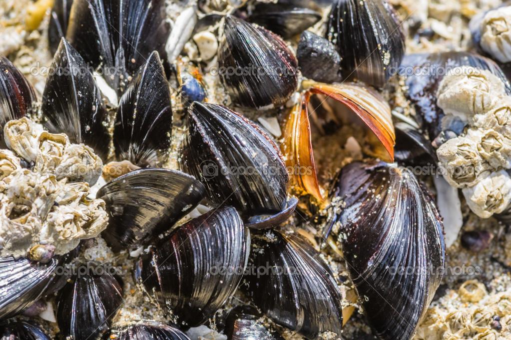Free photo: Mussels, Ocean, Beach, Shell - Free Image on ...  Mussels In Ocean