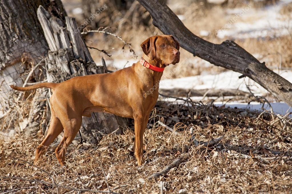 hunting dog in action