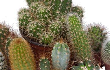 Many specimen of cactus,