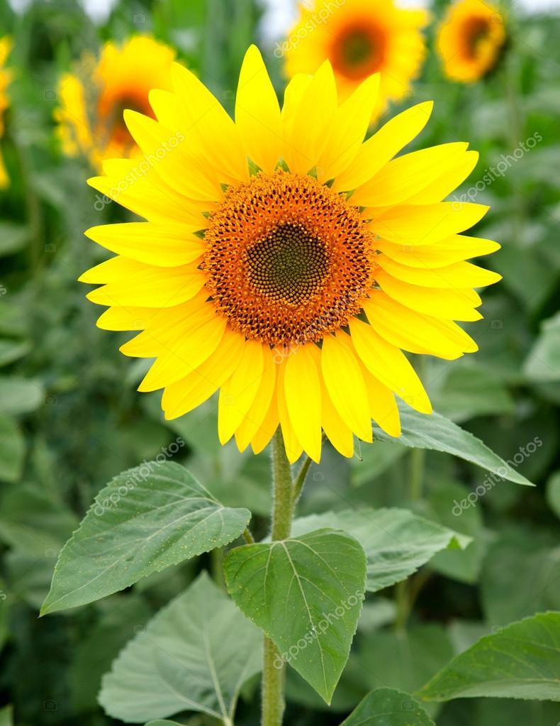 Nice photo of sunflowers