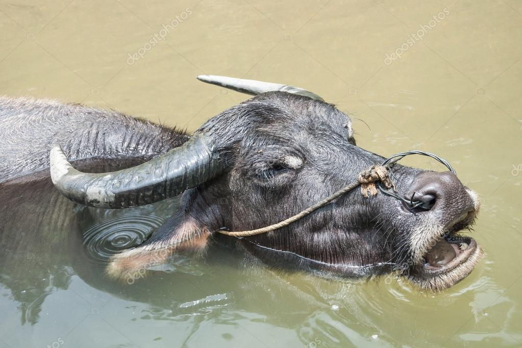 Bathing Buffalo