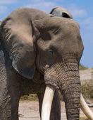 a régi elefánt fej