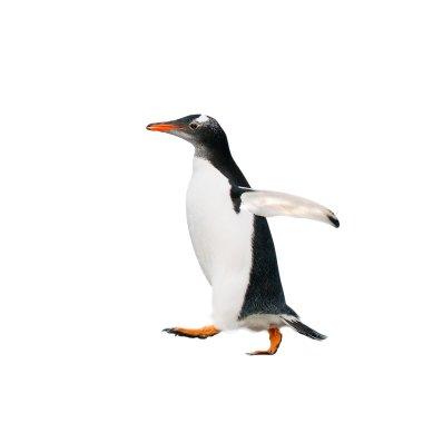 gentoo penguin over white background