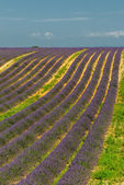 levandulové pole, provence, Francie