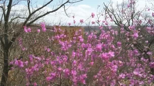 kvetoucí rododendron dauricum na horní kopec