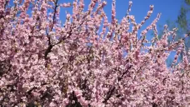kvetoucí větve meruněk, otřesený vítr, proti modré obloze