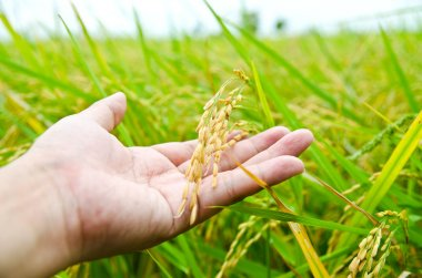 Hand with rice field