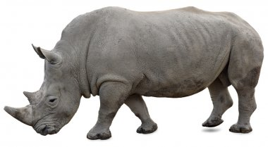 A white rhino on a white background