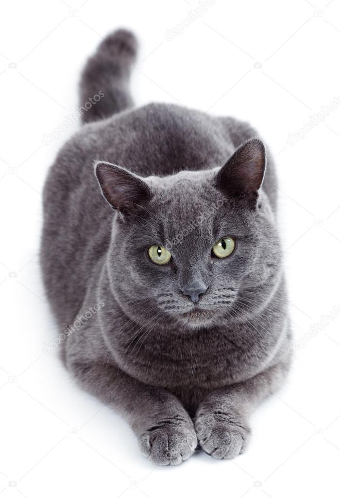Zielonych Oczach Maltański Znany Również Jako Kot Brytyjski