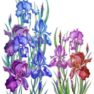 Watercolor irises in a classical style on a white background