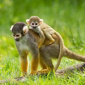 Junge Menschenaffen auf dem Rücken ihrer Mutter