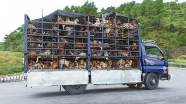 HUÉ, VIETNAM - AUG 4: Trailer filled with live dogs destined fo