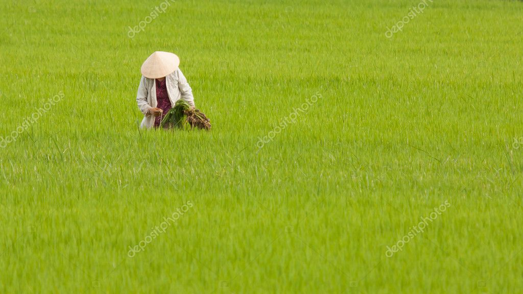 Farmer working on a ricefield in Vietnam, Nha Trang