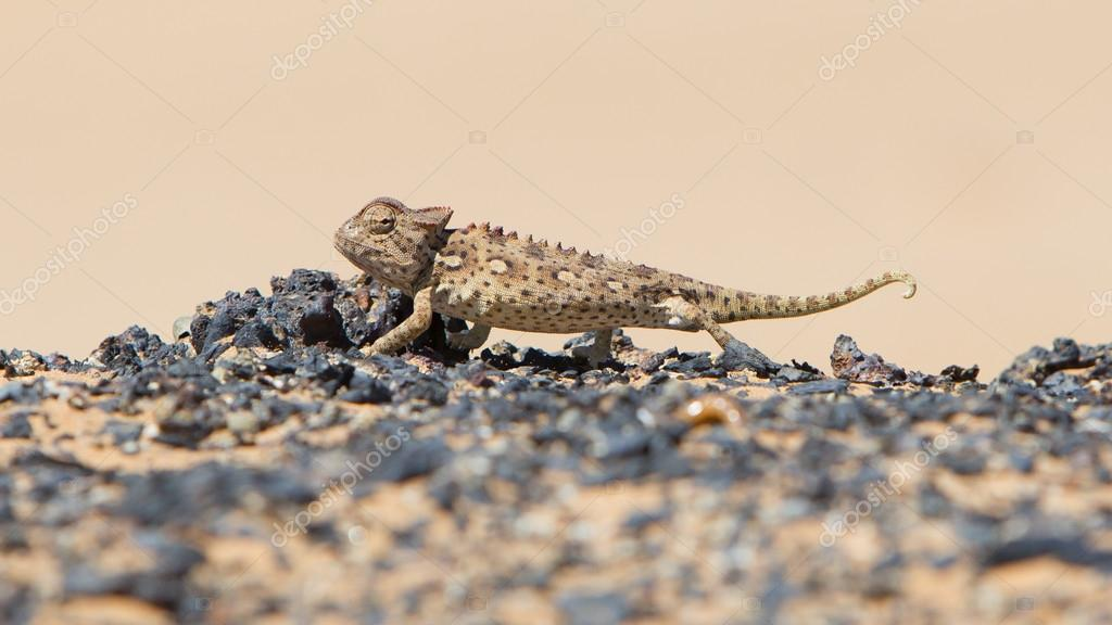 Namaqua Chameleon hunting in the Namib desert