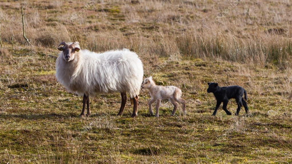 a fekete-fehér bárány felnőtt juh — Stock Fotó © michaklootwijk ... c410101abd