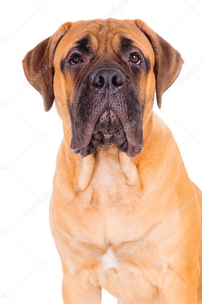 红斗牛犬价格、_獒小狗脸 — 图库照片©Inna_Astakhova#19190493