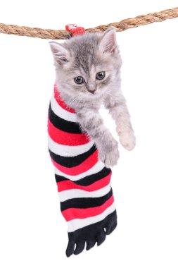 small Scottish kitten