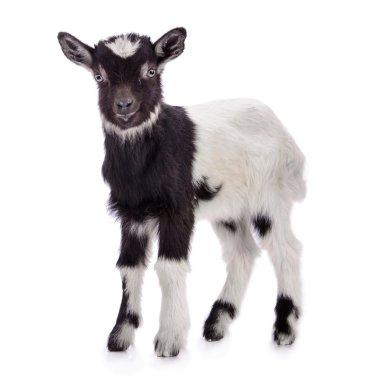 """Картина, постер, плакат, фотообои """"сельскохозяйственный коза изолированы """", артикул 41284103"""