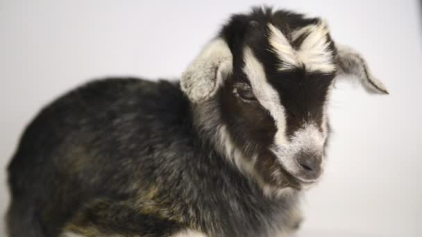 Newborn goat lying