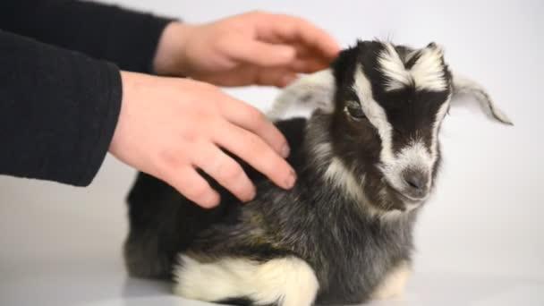 Newborn goat animal Farm