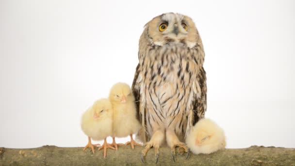 madár bagoly újszülött csibék