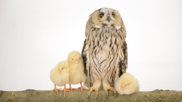 Bird owl with newborn chickens