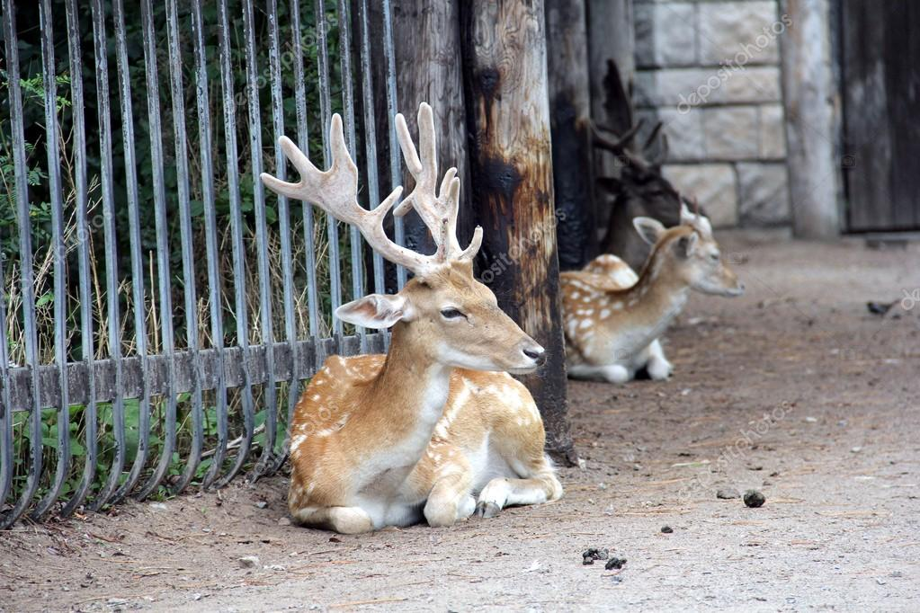 Stag of Japanese spotted deer (Cervus nippon) lying near the fence at the Toronto zoo