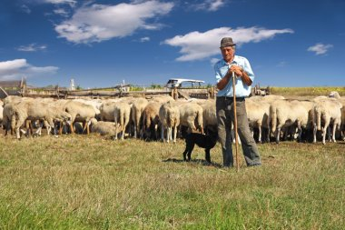 Shepherd with grazing sheep